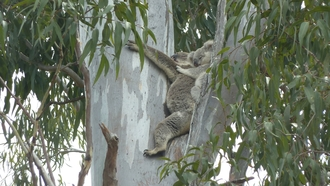 Crowson lane and Stanley Court koala and joey
