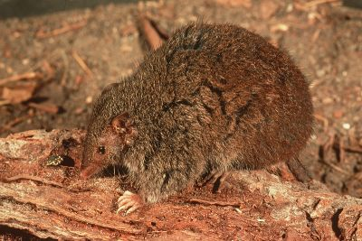 antechinus_large