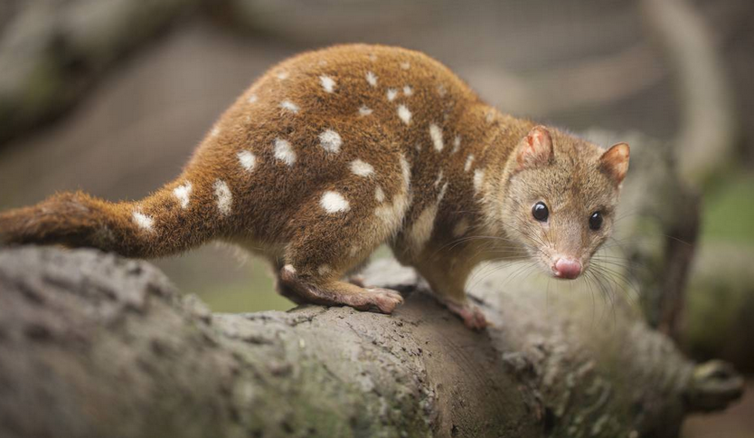 spotted tailed quoll endangered