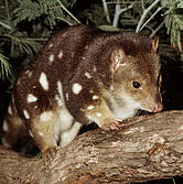 spotted_tail_quoll__wwf_fredy_mercay_1_178962_panda.org